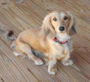 jenny-english-cream-dachshund-for-sale-300x275
