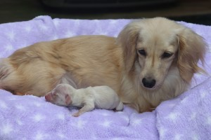 genesis-english-cream-dachshund-&-baby