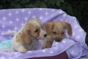 miriam&deborah-wirehair-dachshund-puppies-1