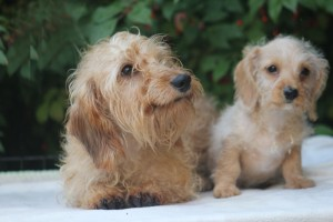caleb-&-miss-dee-wirehaired-dachshunds