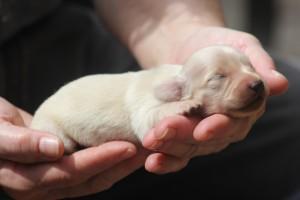 hosanna-english-cream-dachshund-puppy