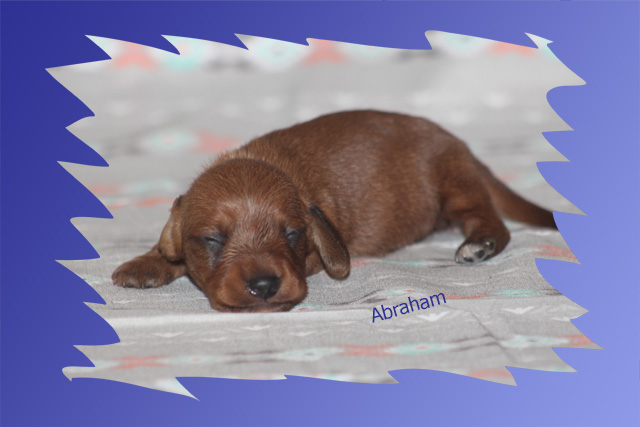 Rhoda & Shadrach – Long Coat Dachshund Puppies for Sale