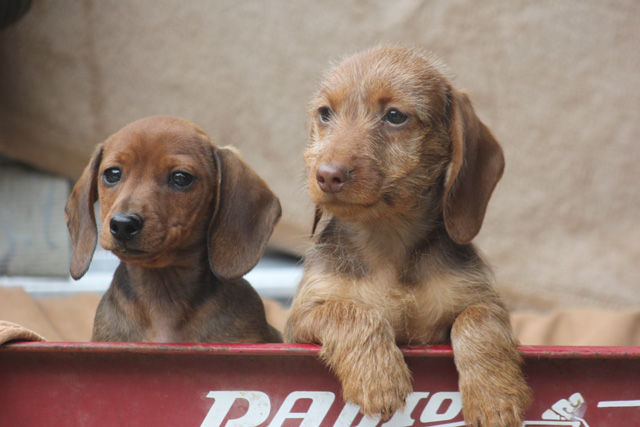 Akc Miniature Dachshund Puppies For Sale