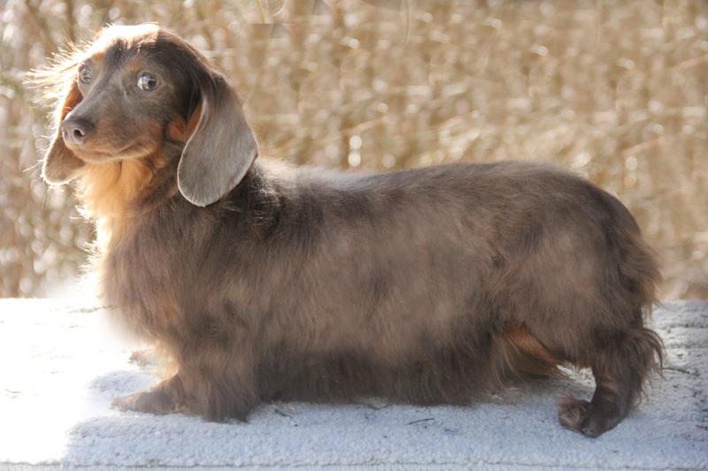 Talitha Lazarus Dachshund Puppies For Sale