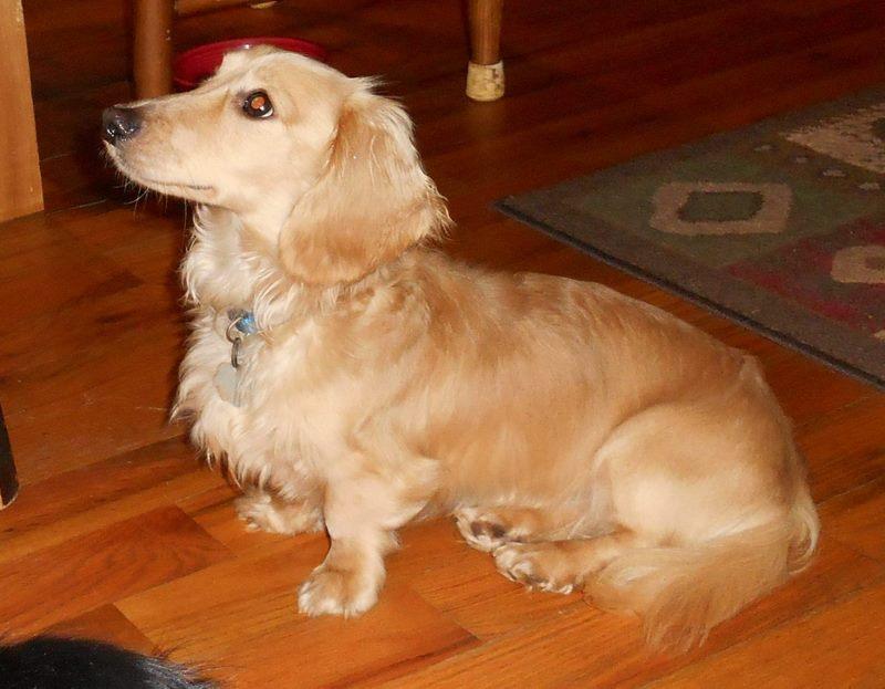Jentu & Korben - Puppies for Sale - Louie's Miniature ...